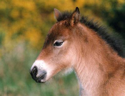Exmoor Ponies are Beautiful