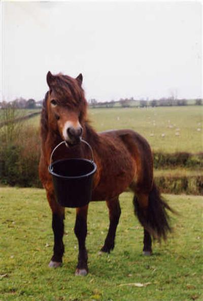 The Exmoor Pony like their food