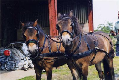 The Exmoor Pony is Identical