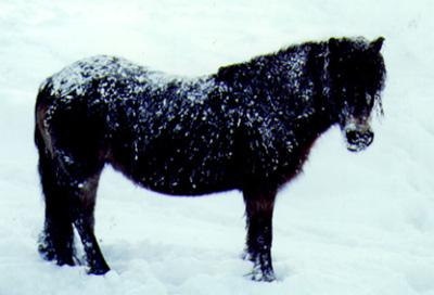 The Exmoor Pony is Hardy