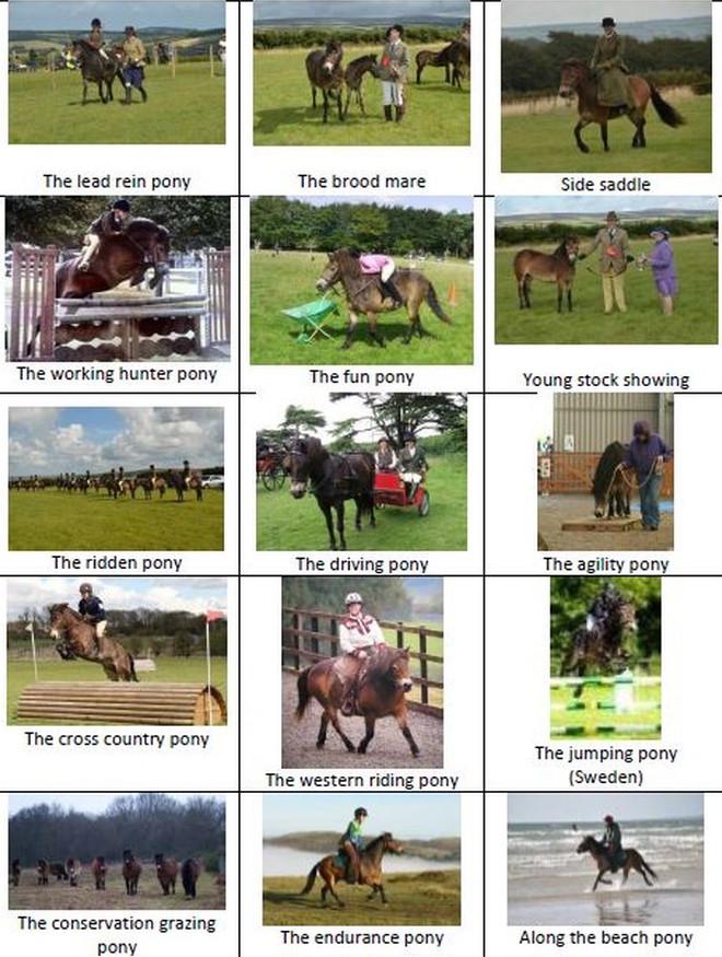 The Versatile Exmoor Pony